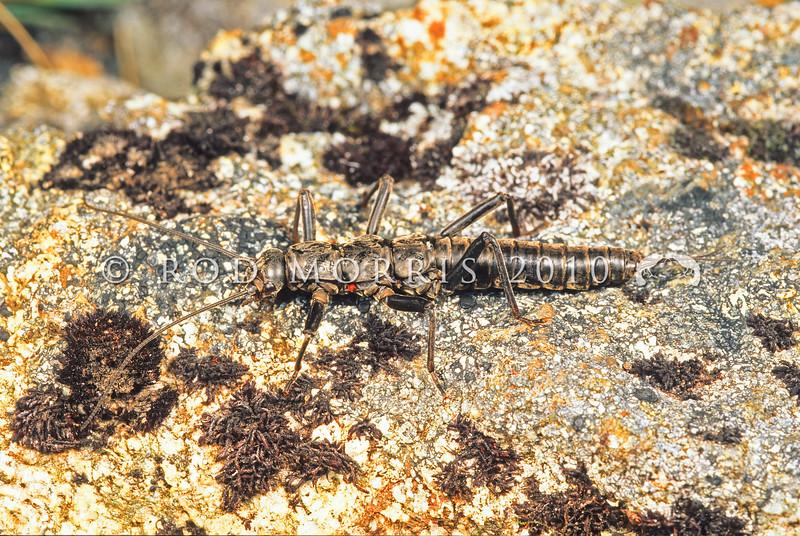 11005-23804  Flightless stoner (Holcoperla angularis) adult on granite rock. An alpine species from Fiordland not found below 1200m *