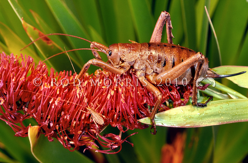 11005-30123 Poor Knights giant weta (Deinacrida fallai) adult female and juvenile on Xeronema flower at night. Tawhiti Rahi, Poor Knights Islands *