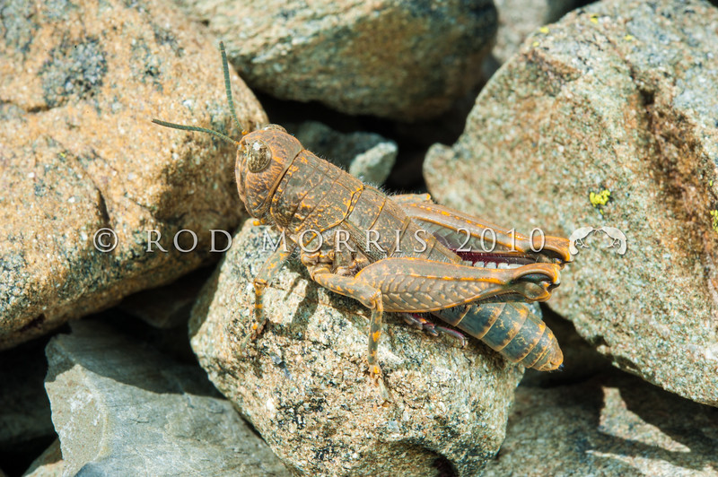 DSC_6741 Short-horned grasshopper (Brachaspis nivalis) on greywacke scree in Glacier Basin, St Mary's Range above Kurow.