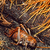 11005-31602 Mole weta (Deinacrida talpa) female in underground burrow. Discovered in January 1994, these short-legged, moderately sized burrowing, alpine giant weta are confined to the central region of the Paparoas Range where they tunnel beneath carpet grass (Chionochloa australis). No other giant weta dig their own burrows in the soil.