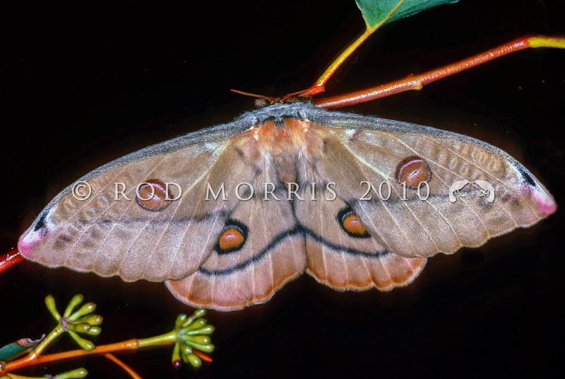 11005-45514 Emporer gum moth (Opodiphthera eucalypti) recently emerged female. Wellington *