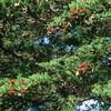 11005-40303 Monarch butterfly (Danaus plexippus) adults overwintering on a macrocarpa tree in public gardens. Christchurch *