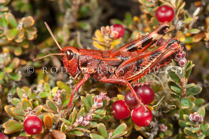 DSC_2957 Short-horned grasshopper (Sigaus australis) a 'red' variant on mountain heath. A rare example of erythrism or erythrocroism from the Rock and Pillar Range