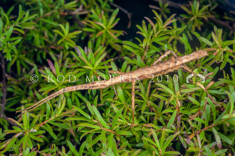 DSC_7431 Spiny ridge-backed stick insect (Spinotectarchus acornutus) female on kanuka. Bream Head *