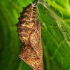 DSC_5401 Yellow admiral butterfly, or kahukowhai (Vanessa itea) pupa hanging on underside of leaf. Otago Peninsula *