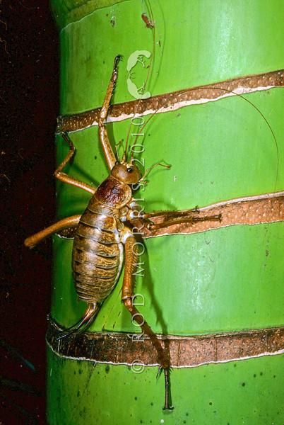 11005-30210 Little Barrier giant weta (Deinacrida heteracantha) adult female on nikau trunk
