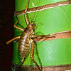 11005-30210 Little Barrier giant weta (Deinacrida heteracantha) adult female on nikau trunk. Little Barrier Island *