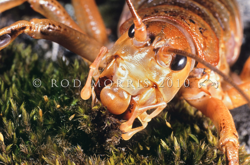 11005-31004  Kaikoura giant weta (Deinacrida parva) female eating moss. Upper Kowhai Stream, Seaward Kaikoura Range *