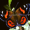11005-41802  Red admiral butterfly (Vanessa gonerilla gonerilla) on  Ribbonwood flowers (Hoheria sexstylosa) in an urban backyard. Otago Peninsula *