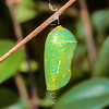 11005-40316 Monarch butterfly (Danaus plexippus) freshly formed pupa *