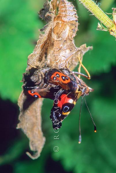 11001-41816 New Zealand Red Admiral  (Vanessa gonerilla gonerilla) emerging from chrysalis *