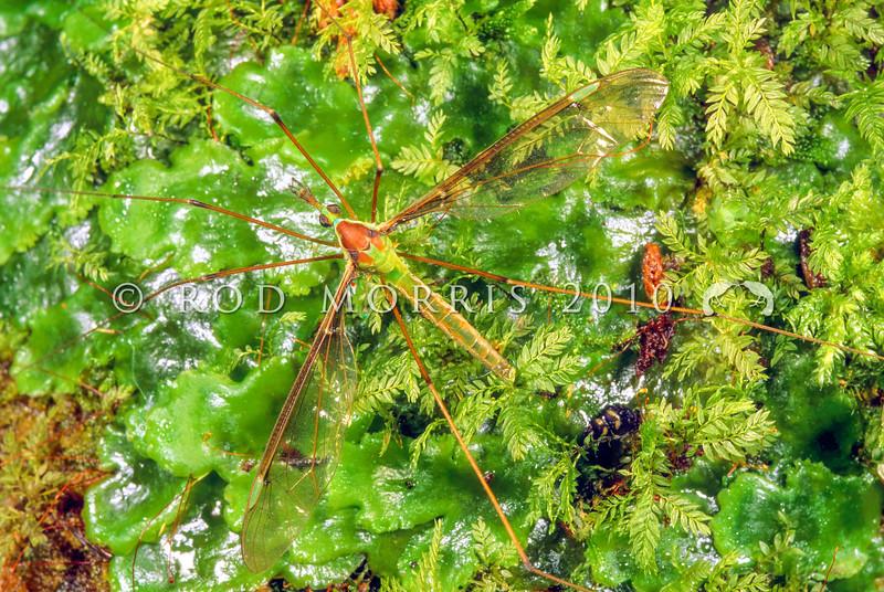11005-50803 Green cranefly or matua waeroa (Leptotarsus viridis) adult male on liverwort. Otago Peninsula *