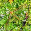11005-50803 Green cranefly or matua waeroa (Leptotarsus albistigma) adult male on liverwort. Otago Peninsula *