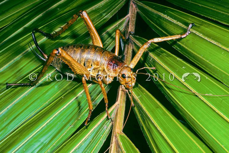 11005-30206 Little Barrier giant weta (Deinacrida heteracantha) adult female on nikau frond. Little Barrier Island *