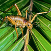 11005-30206 Little Barrier giant weta (Deinacrida heteracantha) adult female on nikau frond. Little Barrier Island *