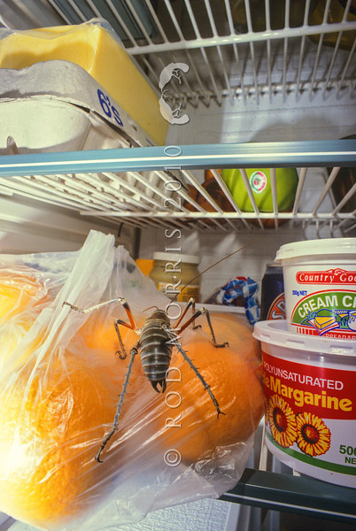 11005-31201  Bluff weta (Deinacrida elegans) male at large 'free-ranging' in photographer's fridge. Like many of our native invertebrates, bluff weta are extremely 'cold tolerant' and this individual lived happily in the fridge for many months, until released.