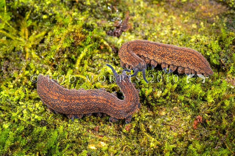DSC_2816  Waikaia Bush peripatus (Peripatoides 'Piano Flat') two adults from same family group interacting on moss covered beech trunk at night. Piano Flat, Waikaia Bush *
