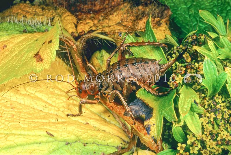 11005-31820  Herekopare giant weta (Deinacrida carinata) female in punui.This 'dwarf' is the smallest of our giant weta *