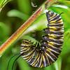 11005-40309 Monarch butterfly (Danaus plexippus) caterpillar about to pupate