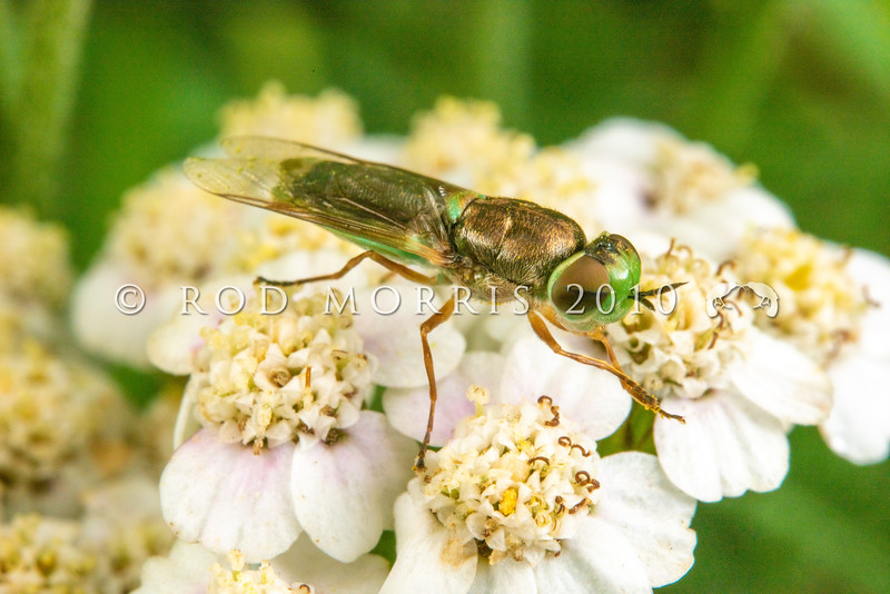 DSC_4237 Green soldier fly (Odontomyia viridula) female on yarrow (Achillea millefolium) flowers. A small, robust fly with a metallic bronze thorax, and flattened lime green abdomen. The large rounded head has very large eyes. It visits the flowers of willow, hawthorn, irises or Umbellifers growing in wet meadows. The larvae feed on algae or decaying organic matter. Lake Mahinerangi *