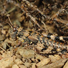 DSC_3010 Short-horned grasshopper (Sigaus obelisci) 'banded morph' on weathered schist, Old Woman Range