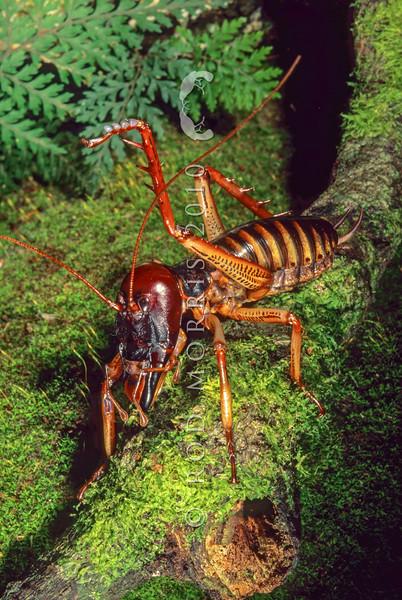 11005-28103  Wellington tree weta (Hemideina crassidens) male with leg raised in defense. Haast *