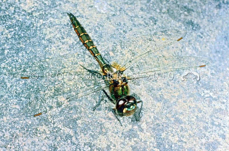 11005-21513 Emerald ranger dragonfly (Procordulia smithii) showing characteristic dark metallic green abdomen, thorax and eyes. Westland.
