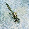 11005-21513 Emerald ranger dragonfly (Procordulia smithii) showing characteristic dark metallic green abdomen, thorax and eyes. Westland *