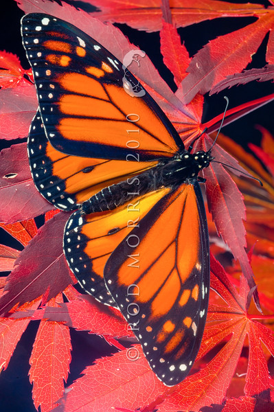 DSC_6147 Monarch butterfly (Danaus plexippus) newly emerged male resting on maple leaves. Otago Peninsula *