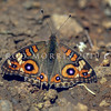 11005-42701 Meadow argus butterfly (Junonia villida calybe) an uncommon and intermittant rare migrant to New Zealand from tropical Australia, usually spotted resting on bare hot ground. In Northland it may sometimes turn up in late summer (April or May) in coastal and lowland areas and will be found sheltering on the ground behind sand dunes. Northland *