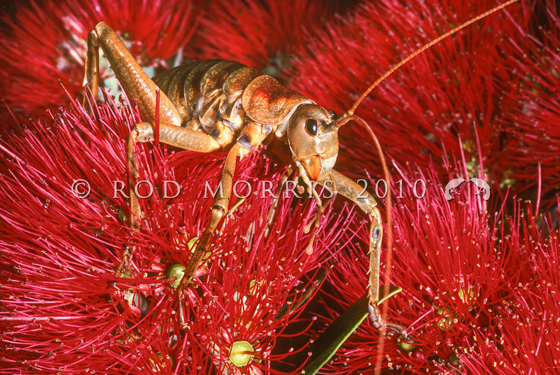 11005-30110 Poor Knights giant weta (Deinacrida fallai) adult female on pohutukawa flowers