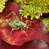 DSC_3121 Moss weta ((Maotoweta virescens) individuals of this small, distinctive green cave weta, were first found by Rod on curtains of the hanging moss (Weymouthia mollis) in Fiordland in 1991. When Rod showed these photos to entomologist Peter Johns, he learned that Ray Forster had also seen this weta back in 1948, and again in 1953. In January 2014 Johns formally described the animal after examining individuals he  recently collected himself from the Takitimus. This little female is on a fallen horopito leaf, amongst umbrella moss in Fiordland