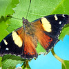DSC_5489 Yellow admiral, or kahu kowhai (Vanessa itea) butterfly resting on Ribbonwood leaves (Hoheria sexstylosa). Dunedin *