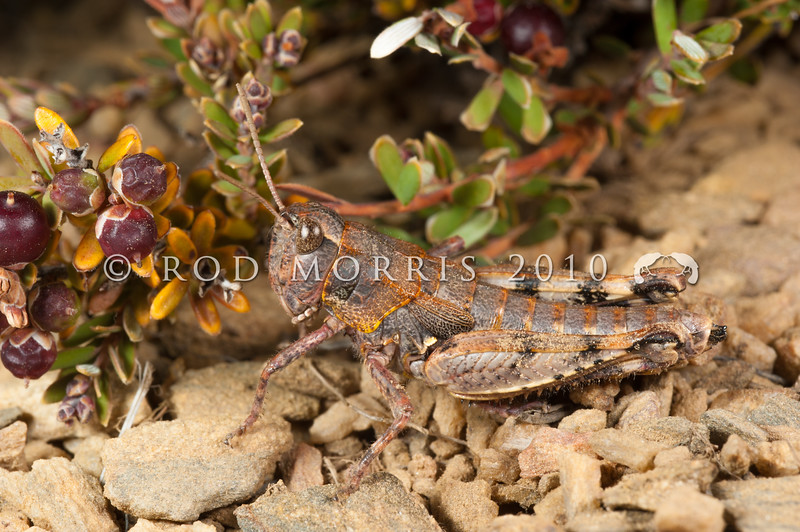DSC_3076  Short-horned grasshopper (Sigaus obelisci) brown morph on weathered schist, Old Woman Range