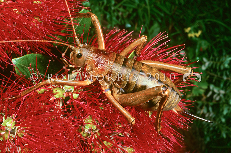 11005-30112 Poor Knights giant weta (Deinacrida fallai) adult female on pohutukawa flowers. Tawhiti Rahi, Poor Knights Islands *