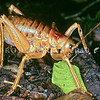 11005-30005  Poor Knights giant weta (Deinacrida fallai) adult female laying eggs on forest floor. Tawhiti Rahi, Poor Knights Islands *
