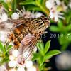 DSC_0462  Ginger bristle fly (Protohystricia alcis) on kanuka flowers. Otago Peninsula *
