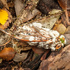 DSC_2345  Chorus cicada (Amphisalta zelandica) dead adult killed by the entomopathogenic Sugar icing fungus (Beauvaria bassiana). Amphisalta are the largest cicadas in New Zealand.  Waipori Gorge *