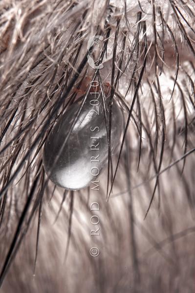 DSC_6331 Kiwi tick (Ixodes anatis) close up of large engorged female tick amongst feathers on face. Ponui Island.
