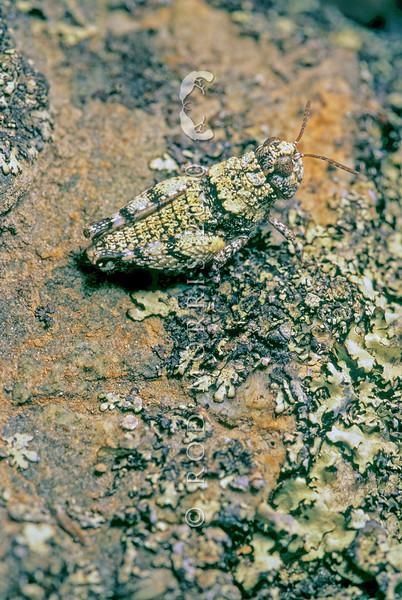 11005-25664  Child's short-horned grasshopper (Sigaus childi) lichen-coloured morph