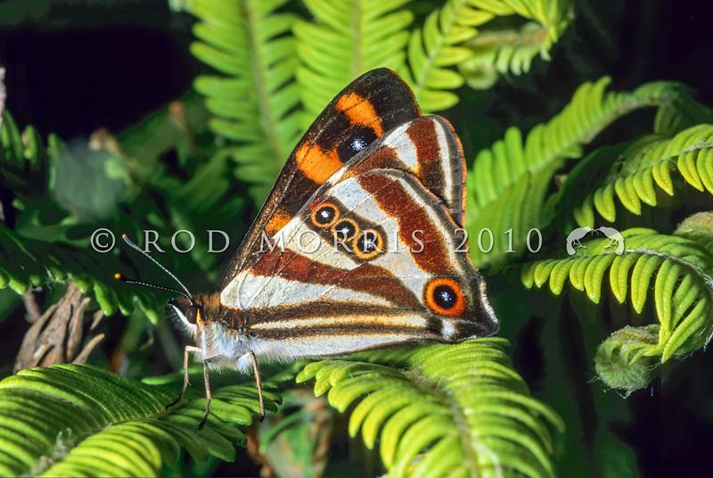 11005-40711  Helms forest ringlet butterfly (Dodonidia helmsii) male on blechnum fern. Tongariro