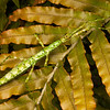 DSC_8099 Prickly stick insect (Acanthoxyla geisovii) this  green and white morph is one of the more attractively patterned of our green stick insects. This genus is very unusual as all populations are female and they reproduce by parthenogenesis. Otago Peninsula *