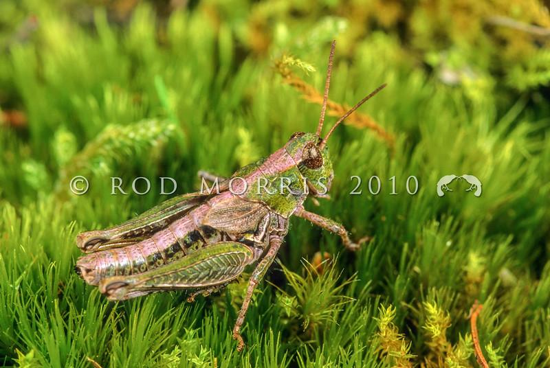 11005-25310  Lowland short-horned grasshopper (Phaulacridium marginale) pink and green morph