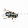 DSC_0979 Metallic blue hoverfly, or Ngaro tamumu (Helophilus hochstetteri) female showing reflective blue abdomen. Frasers Gully, Dunedin *