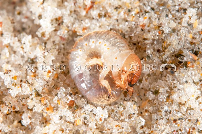 DSC_9184 Seaweed darkling beetle (Chaerodes trachyscelides) larva adapted to digging into wet sand. Pakiri Beach *