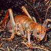 11005-31604 Mole weta (Deinacrida talpa) female in underground burrow. Discovered in January 1994, these short-legged, moderately sized burrowing, alpine giant weta are confined to the central region of the Paparoas Range where they tunnel beneath carpet grass (Chionochloa australis). No other giant weta dig their own burrows in the soil.