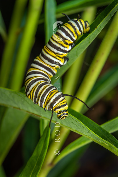 DSC_4528 Monarch butterfly (Danaus plexippus) large caterpillar feeding on the introduced South African swan plant (Gomphocarpus physocarpus). Otago Peninsula *