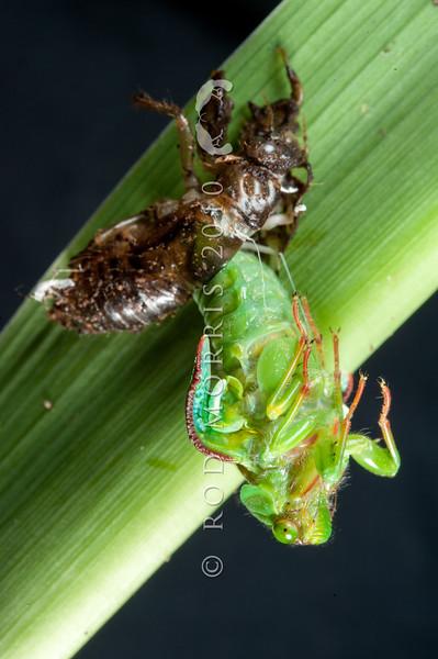 DSC_7809 Pink cicada (Kikihia rosea) emerging at night. The largest of the 'grass and scrub cicadas'. Dunedin
