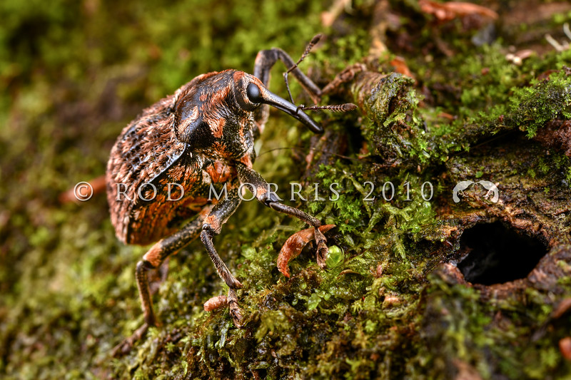 DSC_0320 Elephant weevil (Rhyncodes ursus) a brightly coloured female, recently emerged on mountain beech. Found from New Caledonia (including Lifou), through the Kermadecs and throughout NZ. The larvae tunnel in the dead wood of beech, kauri, Dracophyllum and taraire. The adults can be found crawling slowly over the trunks of these trees in summer, feeding on exuded tree sap. Lake Manapouri, Fiordland *