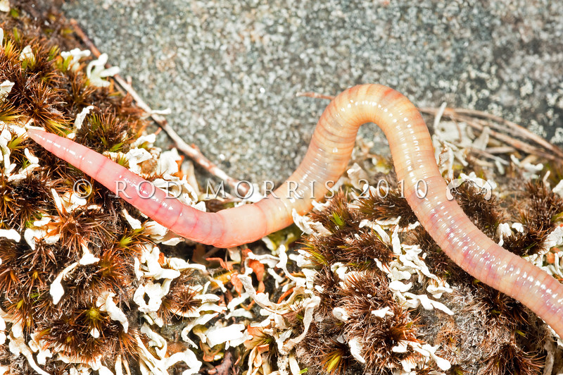 DSC_6936 Variegated pink and white earthworm (Eodrilus annectens) an agile, fast moving earthworm that often sheds its tail while escaping - an adaptation to living alongside the earthworm eating snail (Powelliphanta patrickensis) perhaps. This is a common earthworm on the Denniston Plateau, and just one of more than twenty native earthworm species living in the so-called 'impoverished' soils of the coal measures.